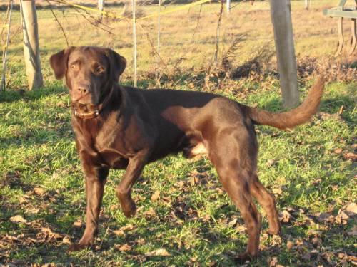 Labrador Retriever Deckrude Chocolate Braun