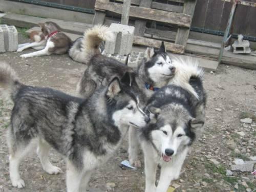 Husky Im Tierheim