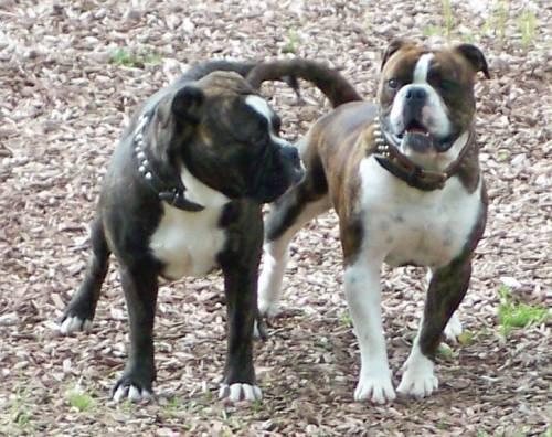 Olde English Bulldogge Welpen