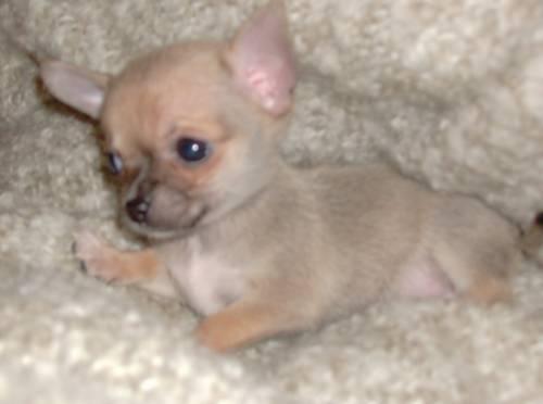 chihuahua welpen kurzhaar mini kaufen