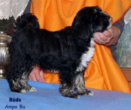 Tibet Terrier Welpen