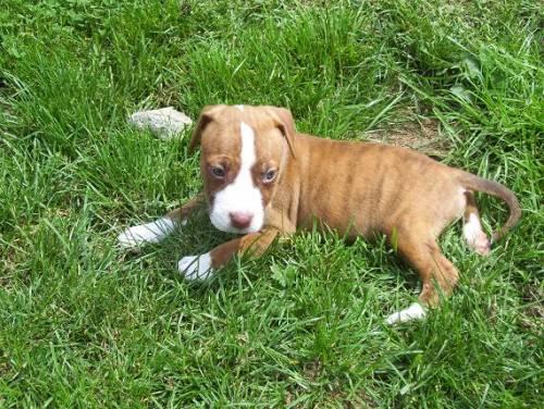 American Pitbull Terrier Welpen Red Nose Ganz Weiss